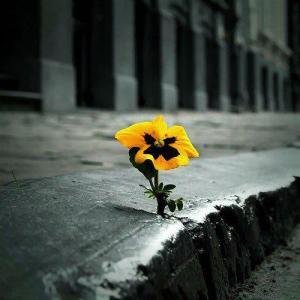 flowergrowingthroughconcrete
